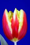 Rode en gele tulpenbloem Stock Foto