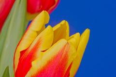 Rode en gele tulpenbloem Royalty-vrije Stock Afbeelding