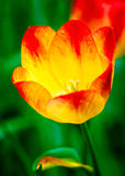 Rode en gele tulpenbloem Stock Afbeelding