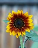 Rode en gele zonnebloem Royalty-vrije Stock Afbeeldingen