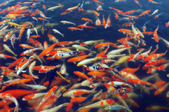 Rode en gouden vissen Stock Foto's
