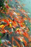 Rode en gouden vissen Royalty-vrije Stock Afbeeldingen