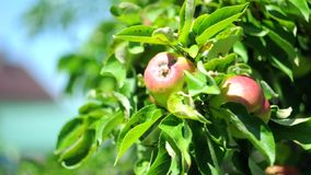 Rode en groene appelen op een boom in een zachte wind stock video