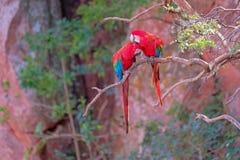 Rode en Groene Ara's, Ara Chloropterus, Buraco Das Araras, dichtbij Boniter, Pantanal, Brazilië stock afbeelding