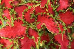 Rode en groene bladeren royalty-vrije stock foto's