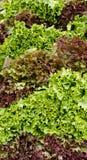 Rode en groene bladsla op vertoning Stock Afbeeldingen