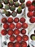 Rode en groene cactussen op de markt royalty-vrije stock afbeelding
