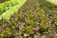 Rode en groene eiken sla in hydrocultuurlandbouwbedrijf in Phangnga-provin Stock Afbeeldingen