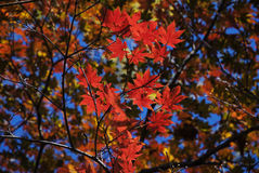 Rode en Groene Esdoornbladeren Stock Foto's