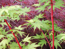 Rode en groene esdoorns Stock Afbeelding