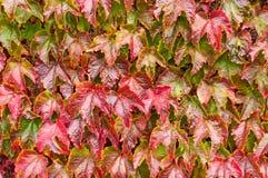 Rode en Groene Ivy Leaf Background Royalty-vrije Stock Foto