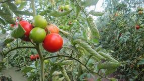 Rode en groene tomaten stock afbeelding