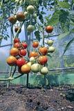Rode en groene tomaten die op de struik in een serre rijpen stock fotografie