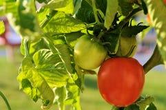 Rode en Groene Tomaten Vined Royalty-vrije Stock Afbeelding