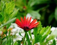 Rode en oranje bloem Royalty-vrije Stock Afbeeldingen