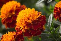 Rode en Oranje Goudsbloembloemen op Zonsondergang Royalty-vrije Stock Foto