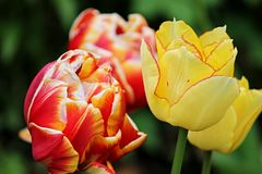 Rode en Oranje Tulpen Royalty-vrije Stock Foto