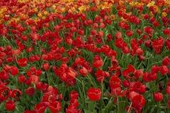 Rode en Oranje Tulpen in de Tuin royalty-vrije stock foto