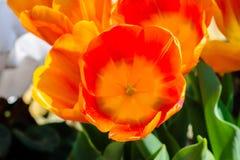 Rode en oranje tulpen die tijdens de lente bloeien royalty-vrije stock fotografie