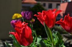 Rode en Purpere Tulpen royalty-vrije stock fotografie