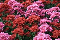 Rode en roze bloemen Royalty-vrije Stock Afbeeldingen