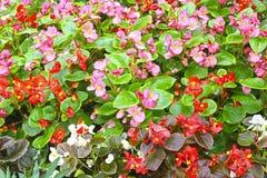 Rode en roze bloemen van Begonia Royalty-vrije Stock Foto's