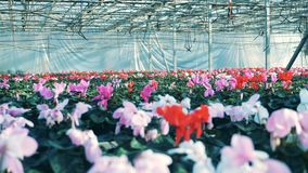 Rode en roze cyclaam die in potten bij een moderne serre groeien stock videobeelden