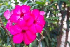 Rode en roze Frangipani in de tuin Stock Foto