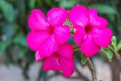 Rode en roze Frangipani in de tuin Stock Afbeelding
