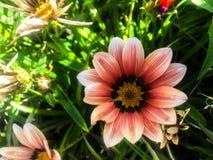 Rode en witte bloeiende bloem stock foto's