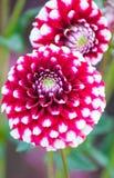 Rode en witte Dahlia Royalty-vrije Stock Afbeeldingen