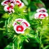 Rode en witte de zomerbloem Floxdrummondii die in tuin bloeien Stock Afbeelding