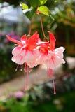 Rode en witte fuchsiakleurig bloem Royalty-vrije Stock Afbeeldingen