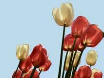 Rode en witte gekleurde die tulpen tegen een achtergrond van een blauwe hemel worden geïsoleerd royalty-vrije stock fotografie