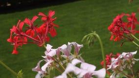 Rode en witte geraniumbloemen Stock Afbeeldingen