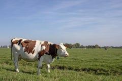 Rode en witte koe, ras van vee, in Nederland die zich links van een groene weide bevinden royalty-vrije stock fotografie