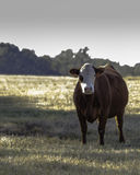 Rode en witte koe - verticaal royalty-vrije stock foto