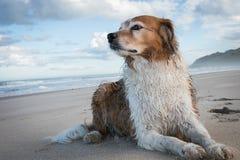 Rode en witte krullende haired collietype hond bij een strand royalty-vrije stock fotografie