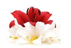 Rode en witte lelie Royalty-vrije Stock Fotografie