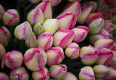 Rode en witte niet open Tulpenknoppen stock foto's