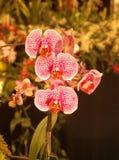 Rode en witte orchideeën Stock Foto's