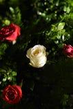 Rode en witte rozen Royalty-vrije Stock Fotografie