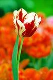Rode en witte tulp Stock Foto