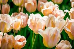 Rode en witte tulp van Holland Stock Afbeeldingen
