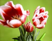Rode en witte tulpen Stock Foto's