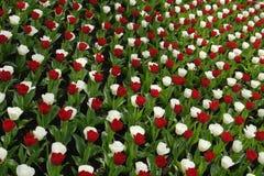Rode en witte tulpen Stock Foto