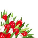 Rode en witte tulpen met dauwdalingen Vector illustratie Stock Afbeeldingen