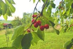 Rode en zoete kersen op een tak vlak vóór oogst in de vroege zomer Kersen die op een tak van de kersenboom hangen Stock Foto