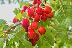 Rode en zoete kersen op een tak vlak vóór oogst in de vroege zomer Kersen die op een tak van de kersenboom hangen Stock Fotografie
