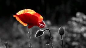 Rode en zwarte achtergrond Rood, offerte, lucht, leven-geeft papaver stock video